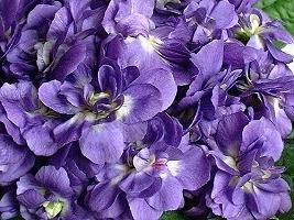 violettes(3).jpg